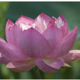 rosa lotusblüte